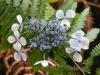 fleur-de-madere
