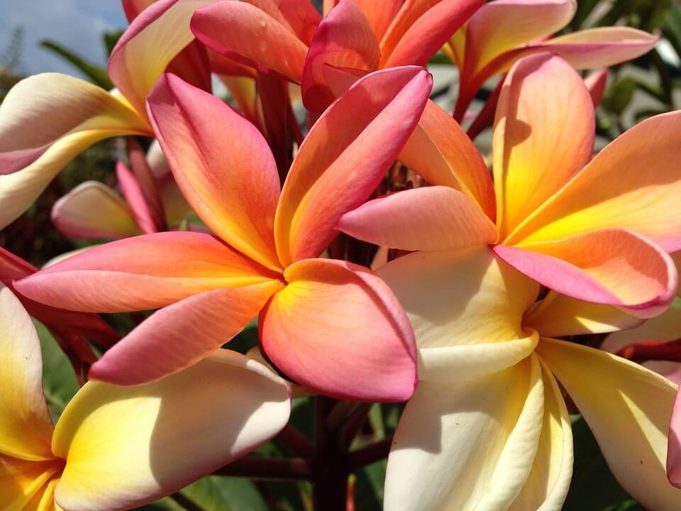 Fleur frangipanier Madere